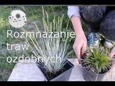 Trawy ozdobne w ogrodzie. Jak rozmnażać trawy ozdobne - YouTube Ornamental Grasses, Herbs, Make It Yourself, Garden, Plants, Instagram, Youtube, Balconies, Garten