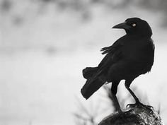 """My Third Familiar Keeps Me Well Informed of ALL Things. The Crow is the keeper of the Sacred Law, for nothing escapes their keen sight. Crow is appears to beckon me to begin to use my """"second sight"""" . Crow Meaning, Storyboard, Crow Spirit Animal, Tarot, American Crow, Dark Wings, Power Animal, Jackdaw, Crows Ravens"""