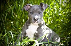 blue pit puppy Kingston in the grass, Seattle - Tacoma pet photography www.SomeLikeItShotPhotography.com