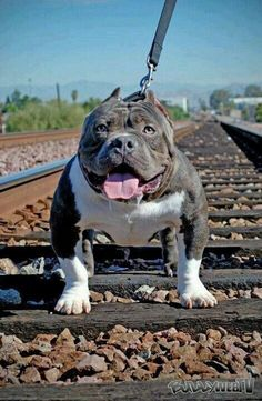 Do you love Pitbull? If yes read the types of Pitbull Breeds that are really popular right now. This list of Pitbull breed is very famous because of their extra ordinary characteristics Pitbull Dog Breed, Bully Dog, Pitbull Terrier, Big Dogs, I Love Dogs, Cute Dogs, Beautiful Dogs, Animals Beautiful, American Bully