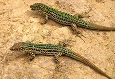 Ibiza wall lizard, Podarcis pityusensis, Serpent Research: An introduced snake on Ibiza Island, the Horseshoe Whip Snake