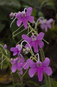 Impatiens scapiflora Hook.   Species   India Biodiversity Portal
