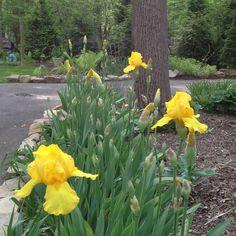 Driveway irises.  May 7.