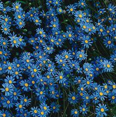 Blue Marguerite daisies