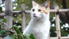 三毛模様の猫(103)猫写真-横浜 #猫写真