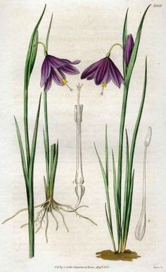 Curtis's Botanical Magazine - Sisyrinchium Grandiflorum (Known as Grasswidows or Olsynium Douglasii - iris family)