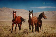 Wild horses in Nevada. ©MelaniLustPhotography