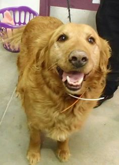This is Riley - 9 yrs. He is neutered, current on vaccinations, potty trained & prefers a home with older kids only. Riley is new to rescue & settling into a foster home. Golden Retriever Rescue of the Rockies, Co. http://www.petfinder.com/petdetail/28564454/