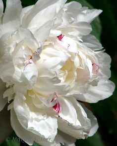 The Festival Maxima Peony Is Characterized With Drizzles Of Crimson And/Or Pink In The Center.FESTIVA MAXIMA, 1851 The most famous peony of all, 'Festiva Maxima' has been a standard of excellence since Hovey's of Boston first offered it here in 1852. Its big, sparkling white flowers are improved by a few dribbles of crimson,