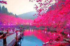 Paysage japonais cerisier en fleur au bord du lac