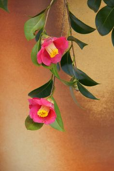 つばき (椿)/Camellia japonica | Flickr - Photo Sharing!