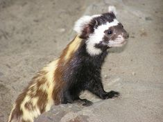 The Marbled Polecat. I thought this was a Photoshop joke when I saw this picture this morning. It isn't, they are real!