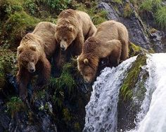 3 Young Grizzly's Doing Doing Some Fishing at the Small Falls.