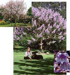 Royal Empress Tree: fast growing, hardy sun, good for local conditions, beautiful flowers.