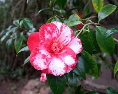 Variegated Camellia japonica [Family: Theaceae] Berkeley, CA - Flickr - Photo Sharing!