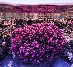 Tune into the ABC at 7.40pm tonight to catch another glimpse of what the Great Barrier Reef has to offer on the second episode of the David Attenborough Great Barrier Reef Special!  @matt.nitschke coral at Heron Island! #southerngreatbarrierreef #greatbarrierreef #coral #gladstoneregion #heronisland #magnificent by gladstoneregion http://ift.tt/1UokkV2