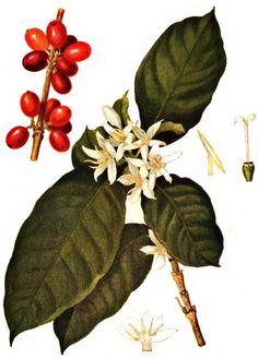 Coffee Plant Propagation - Coffee Recipe Videos - Coffee And Books Bar - Coffee Design Machine - Coffee Icon, Coffee Cafe, Coffee Humor, Coffee Drinks, Barista, Uncommon Grounds, Coffee Infographic, Coffee Tattoos, Tattoos
