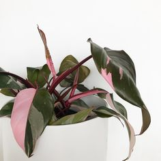 Philodendron pink princess Bonsai seeds , Philodendron Erubescens seeds, indoor plants Anti Radiation Absorb dust tree Bonsai - All About Hanging Plants, Indoor Plants, Indoor Gardening, Cactus Plante, Decoration Plante, Bonsai Seeds, Pink Plant, Plants Are Friends, Fiddle Leaf Fig