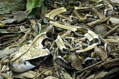The gaboon viper is the biggest member of the genus bitis and also the snake with the largest fangs, reaching up to 2 inches (5 cm).
