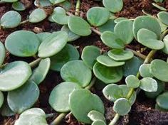 Peperomia rotundifolia trailing jade this would be nice hanging off a container with other succulent