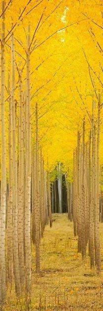 Golden Tree Tunnel in Autumn