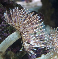Get all the essential livestock for your fishtank, from Hermit Crabs to Corals For Sale. We have a huge selection of livestock available, including our Red Sea Coral Reef For Sale. Small Saltwater Tank, Saltwater Aquarium Fish, Coral Reef Aquarium, Marine Aquarium, Underwater Creatures, Ocean Creatures, Underwater Flowers, Corals For Sale, Marine Tank