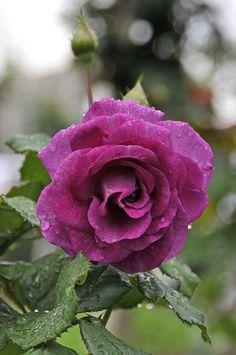 'Derby' hybrid tea rose