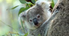Tollpatschiges Koala-Baby läuft gegen Baum! #News #Unterhaltung