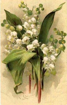 Lily of the valley, Catherine Klein Catherine Klein, Images Vintage, Vintage Cards, Vintage Postcards, Vintage Paper, Illustration Blume, Botanical Illustration, Vintage Flowers, Vintage Floral