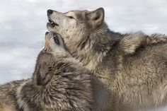 Wolf Love, Brown Bear, Husky, Grey, Wolves, Animals, Park, Gray, Animales