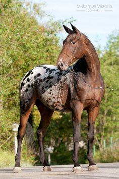 Bay Blanket Appaloosa Sport Horse