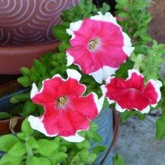 Planting petunias in containers is a fantastic way to showcase them. Whether in hanging baskets or containers on tables or a front porch, growing petunias in pots brings vibrant color throughout the summer. Learn more here. Hanging Baskets, Hanging Plants, Potted Plants, Potted Flowers, Flowering Plants, Gardening For Beginners, Gardening Tips, Flower Gardening, Petunia Care