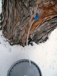 How to tap a maple tree for syrup