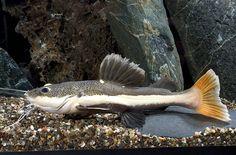 picture of Redtail Catfish SA M/L Phractocephalus hemiliopterus Red Tail Catfish, Big Catfish, Catfish Online, Aquarium Catfish, Monster Fishing, Freshwater Aquarium Fish, Types Of Fish, Exotic Fish, Planted Aquarium