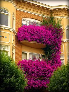 Beautiful Bougainvillea in San Francisco