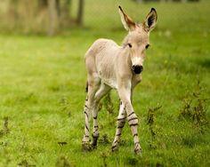 Somali Wild Ass Foal at Woburn Safari Park