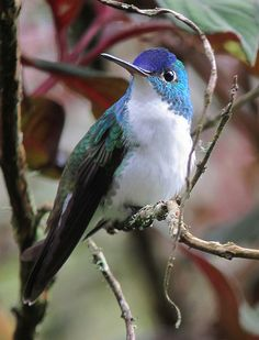 Andean Emerald Hummingbird - ©Félix Uribe (felixú) www.flickr.com/photos/24201429@N04/8720842611/