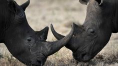 """The man behind attempts to develop synthetic rhino horn has told the BBC that he hopes to have a """"bio-identical"""" product on the market in two years."""