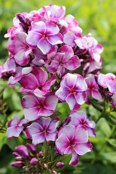 We are in love with the sensational shades of Phlox 'Neon Flare Blue.'