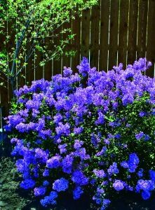 Want a plant to brighten a dull corner of your yard? This may be it! There hasn't been this much buzz about a plant in years! People have been clamouring for a re-blooming lilac for years and 'Bloomerang' delivers with a dense, compact plant with an intense mid May bloom followed by more deliciously fragrant bloom cones throughout the summer and fall, and it attracts butterflies, too! Mature ht 1.5 m (4 to 5 ft).