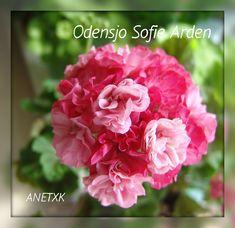 Odensjo Sofie Arden