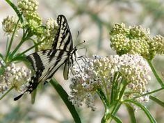Click though to Las Pilitas website for great info on plants for a Butterfly Garden