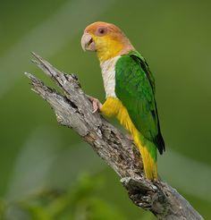 Foto marianinha-de-cabeça-amarela (Pionites leucogaster) por Ricardo Gentil | Wiki Aves - A Enciclopédia das Aves do Brasil