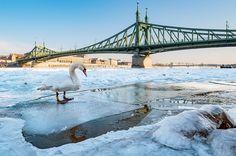 Ilyen volt a Duna jégzajlása fotósaink szemével – képgaléria | WeLoveBudapest.com My Town, Budapest, Swan, My Dream, Frozen, Ice, Dreams, Photography, Travel