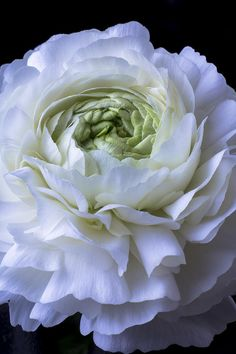 White Ranunculus Close Up Garry Gay*