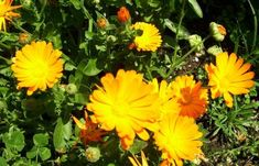 Calendula blooms in Greece from February till October Calendula, Spring Colors, Herbalism, Greece, Health Fitness, Fragrance, Bloom, Colours, Nature