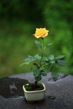 教室&ミニバラ Ikebana Sogetsu, Planting Flowers, Plants, Tiny Plants, Garden Terrarium, Bonsai Tree Types, Miniature Plants, Fragrant Flowers, Growing Tree