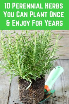10 Perennial Herbs You Can Plant Once & Enjoy For Years - - Plant these herbs once and they'll come back every year meaning you can have an endless supply of nutritious and delicious fresh herbs all year long. Herb Garden Design, Lawn And Garden, Garden Bar, Garden Pond, Garden Ideas, Culture D'herbes, Pot Jardin, Home Vegetable Garden, Edible Garden