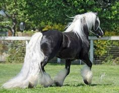 DraftsForSale.com: Gypsy Horses Stallion Service - 2010 GHRA ALL ROUND CHAMPION OF CHAMPIONS