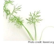Fennel Microgreens: Tips for Growing Micro Fennel Indoors
